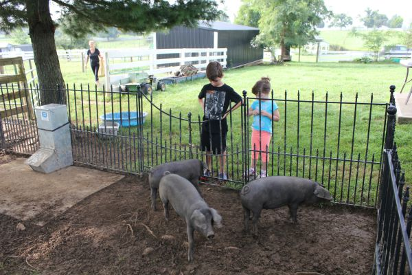 checking out the piggies lr