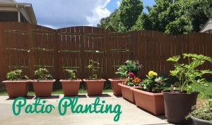 Tomato Plants for Your Patio and Other Plant Picks
